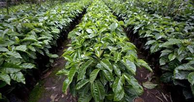 Wisata Agro Kopi Kalisat, Wisata Kebun Kopi yang Sangat Cocok Bagi Kamu Para Pecinta Kopi