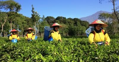 Kebun Teh PTPN Wonosari, Berwisata Sambil Mempelajari Tentang Teh